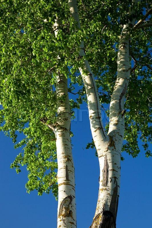 Abele Tree