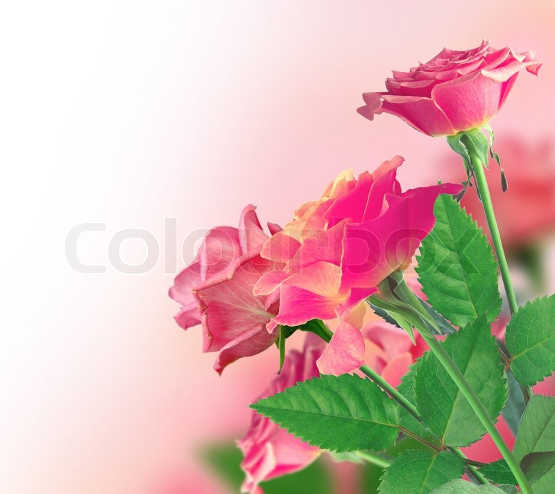 Stock image of 'Beautiful Pink Rose Border'