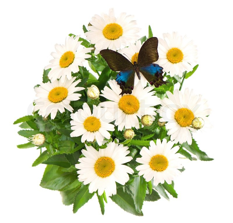 Bouquet of daisy flowers with butterfly | Stock Photo | Colourbox