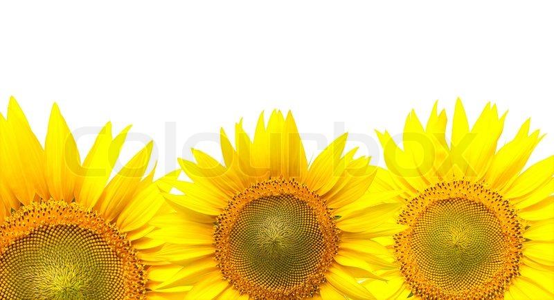 Sunflower Border Isolated On White