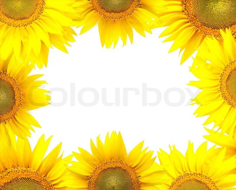 Sunflower frame isolated on white | Stock Photo | Colourbox