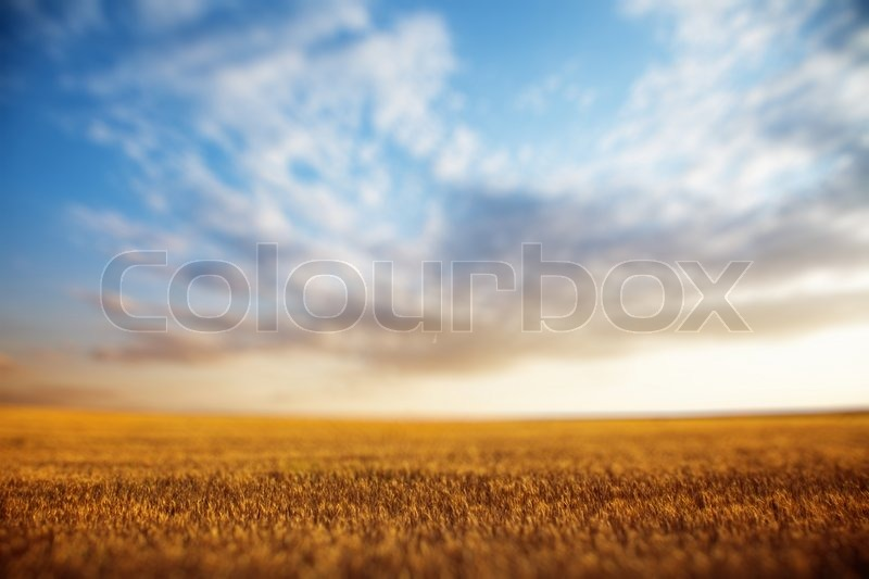Summer landscape - wheat field at sunset, stock photo