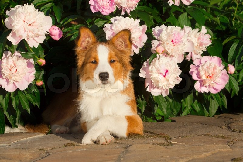 Dog in flowers | Stock Photo | Colourbox