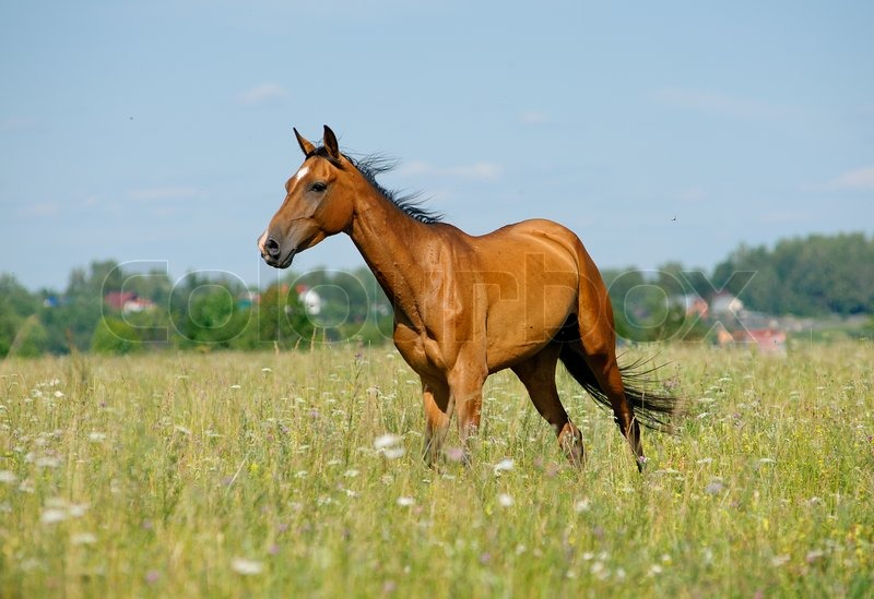 Purebred horse in field, stock photo