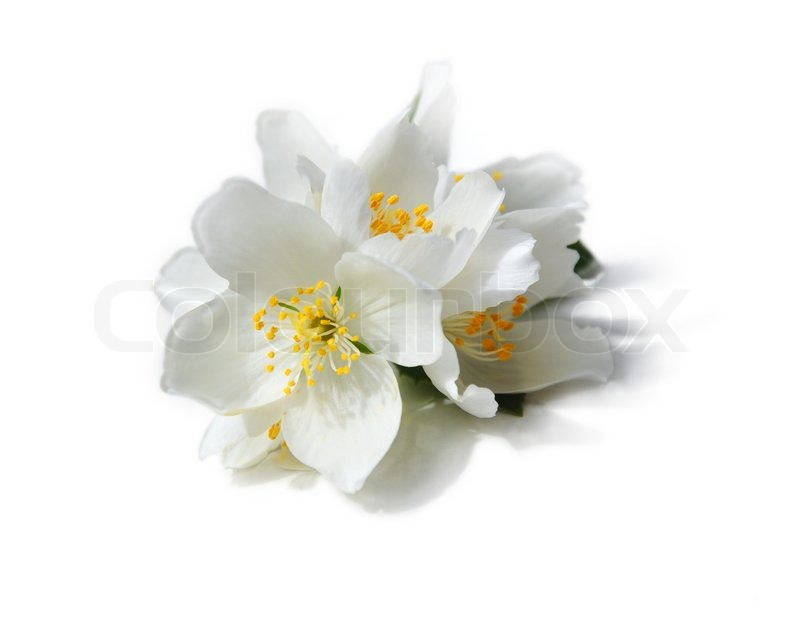 White flowers of jasmine on the white background stock photo white flowers of jasmine on the white background stock photo colourbox mightylinksfo