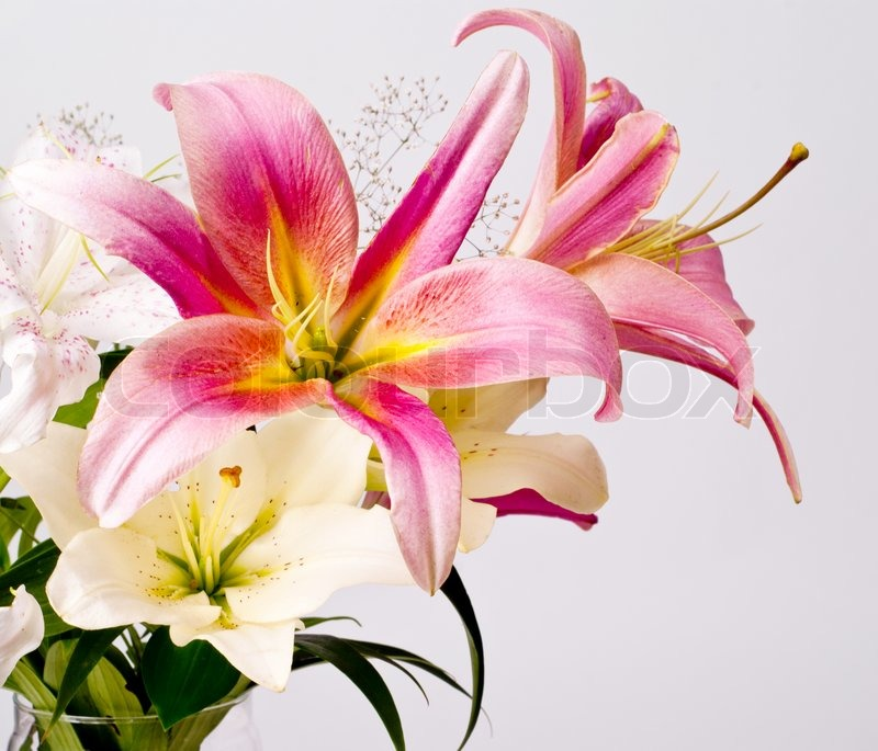 white and pink lily flowers  stock photo  colourbox, Natural flower
