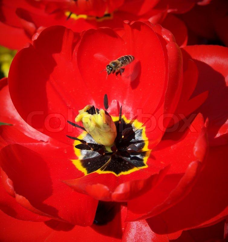 biene und gro e rote tulpe stockfoto colourbox. Black Bedroom Furniture Sets. Home Design Ideas
