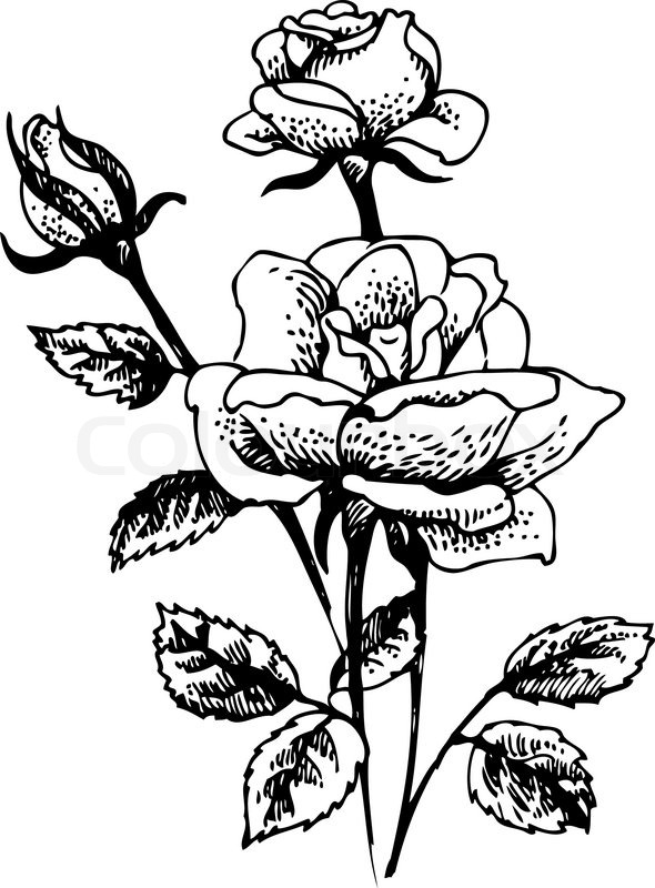 Line Drawing Of Rose Plant : Roses hand drawn illustration of rose flowersbouquet