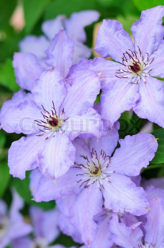 Light Purple Clematis Flowers | Stock Photo | Colourbox
