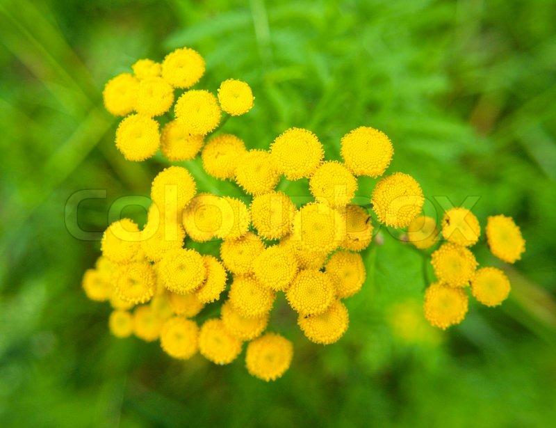 Closeup Of Small Yellow Flowers Stock Photo Colourbox