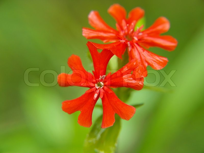 Couple of small red flowers, isolated towards green, stock photo