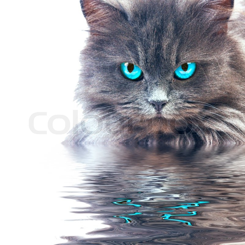 Leader Cat. :3 4467277-650709-gray-cat-with-blue-eyes-reflecting-in-wster
