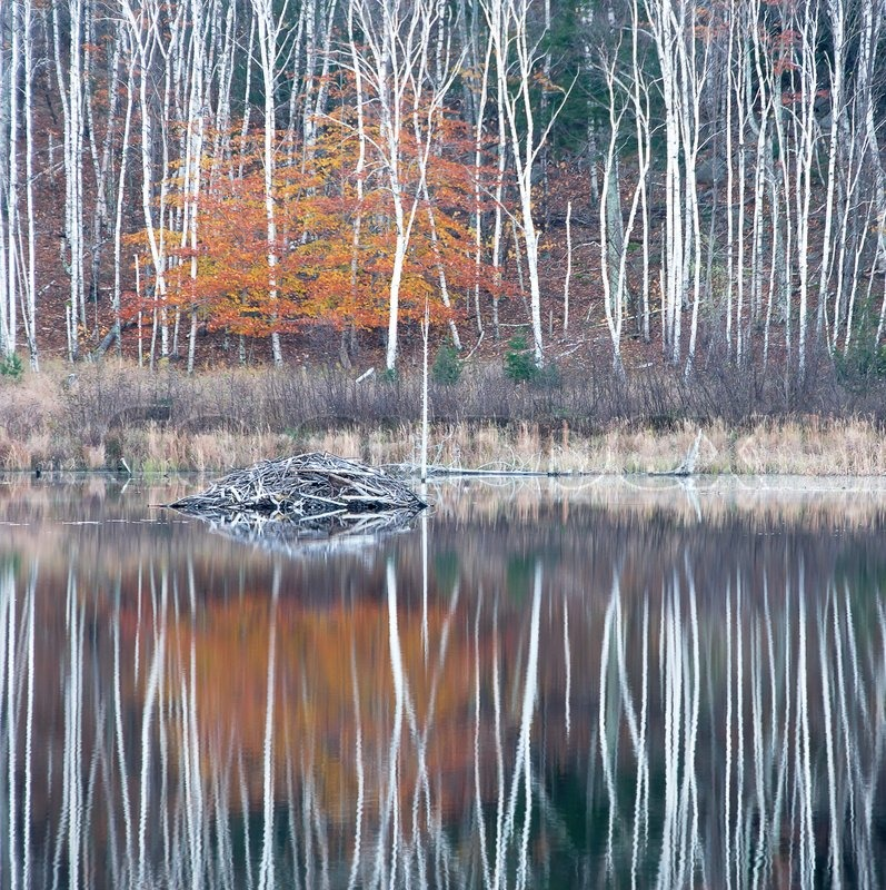 Autumn Birch Trees Reflecting In A Pond