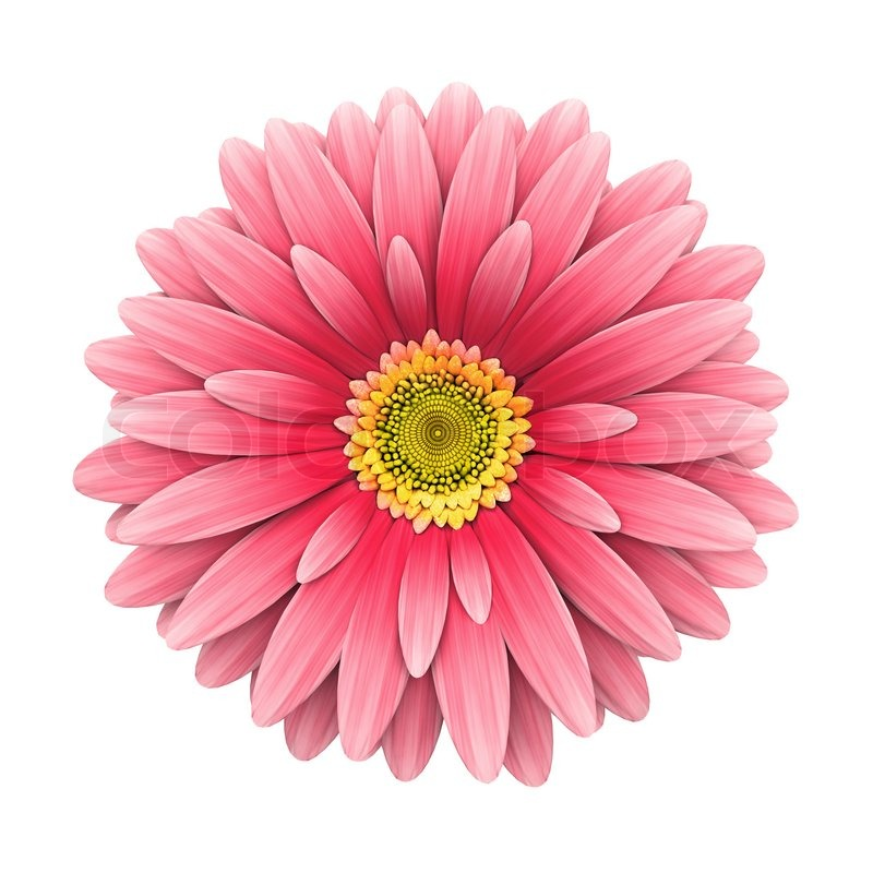 Pink daisy flower isolated on white 3d render stock photo pink daisy flower isolated on white 3d render stock photo colourbox mightylinksfo