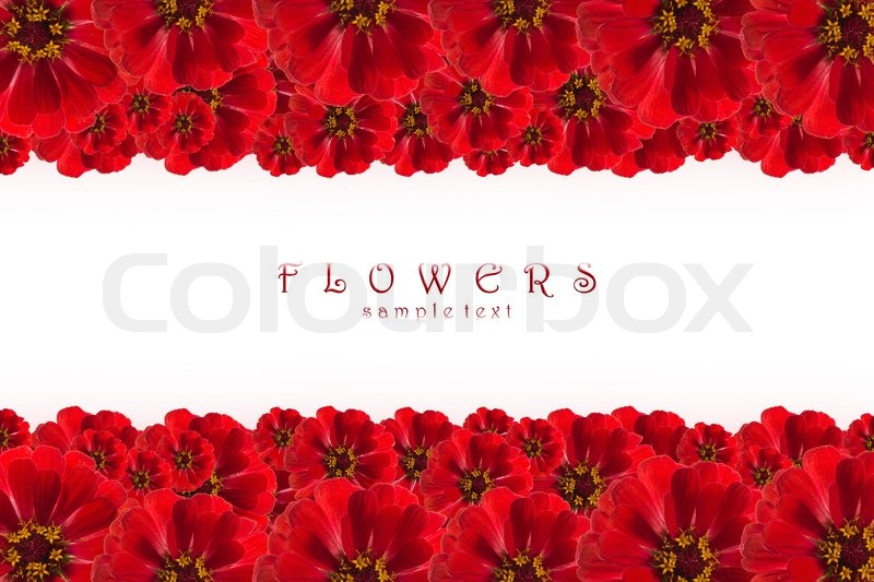 Beautiful pink flowers in the garden stock photography image - Flowers Frame Isolated On White Zinnia Border With Copy