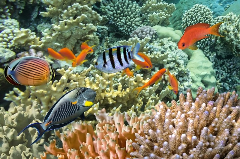 Tropical fish on coral reef in the red sea stock photo for Red sea fish