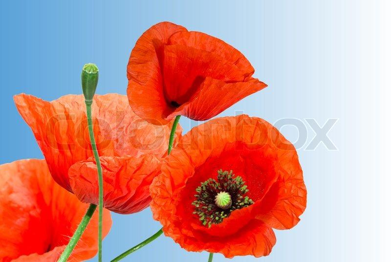 Red poppy flower stock photo colourbox mightylinksfo