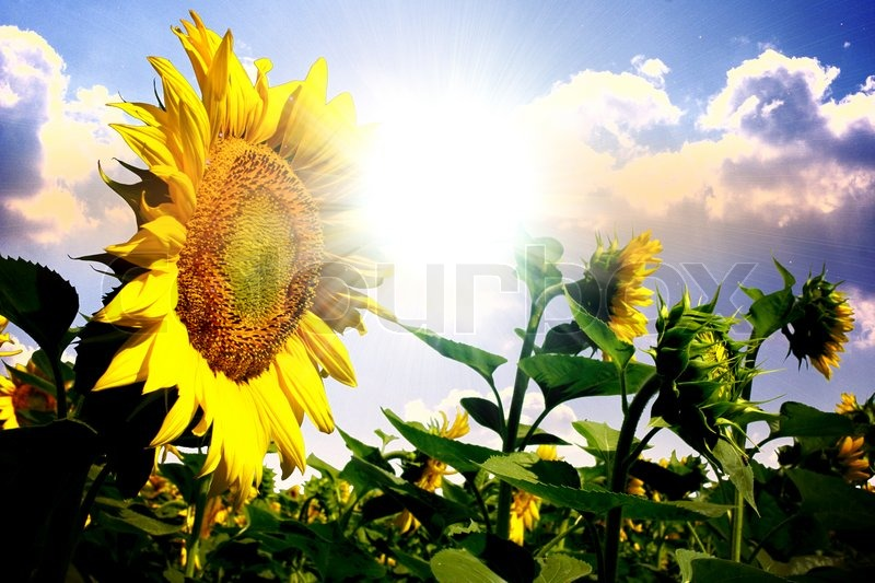 Stock image of 'Summer sun over the sunflower field with clouds on the sky'