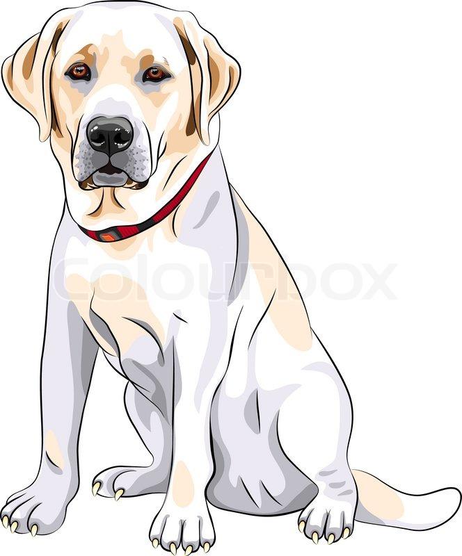 Vector sketch yellow dog breed Labrador Retriever sitting | Stock ...