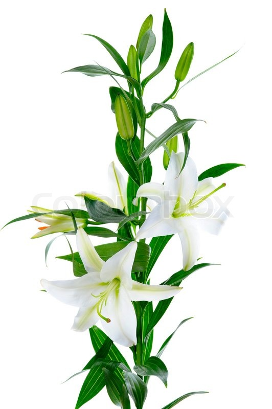 buy stock photos of lily  colourbox, Beautiful flower
