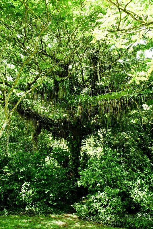 Gro e dschungel baum im regenwald stockfoto colourbox - Wandtattoo dschungel baum ...