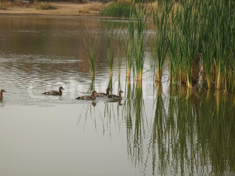 Ducks Swimming On A River | Stock Photo | Colourbox