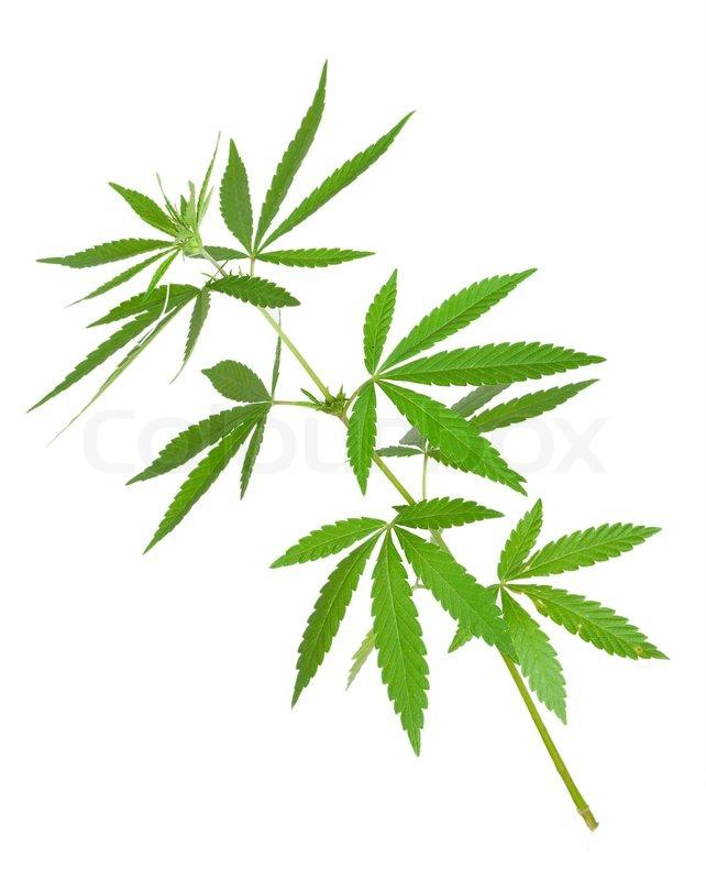 Cannabis plant stock photo colourbox for Plant de cannabis exterieur