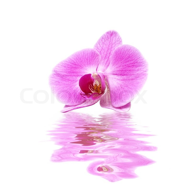 White Orchid Water Pink: Pink Orchid In Water