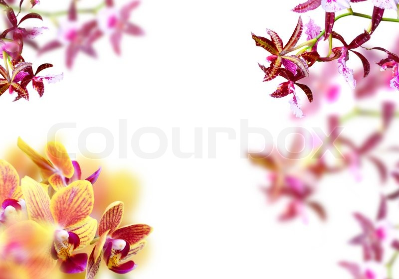 Orchid frame   Stock Photo   Colourbox