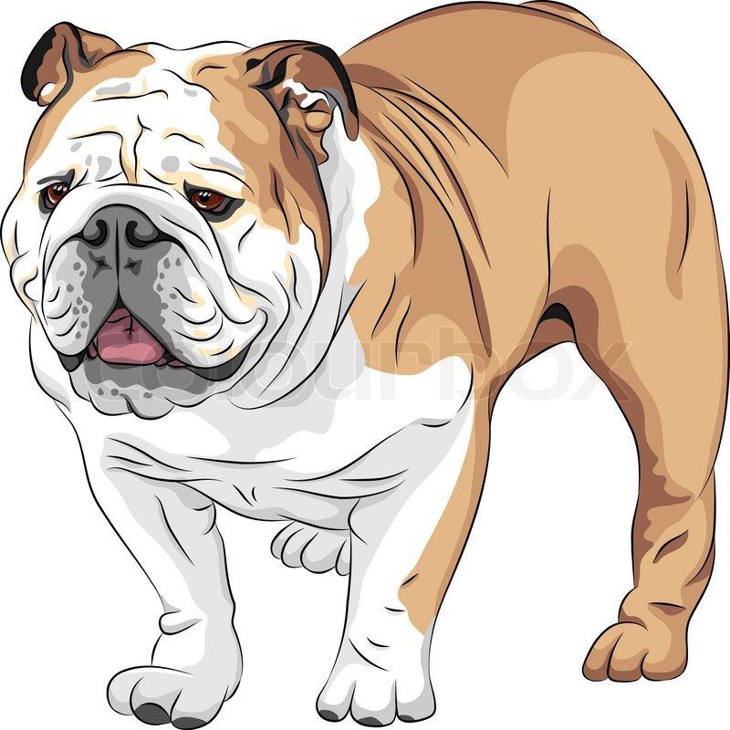 Vector sketch dog English Bulldog breed   Stock Vector   Colourbox