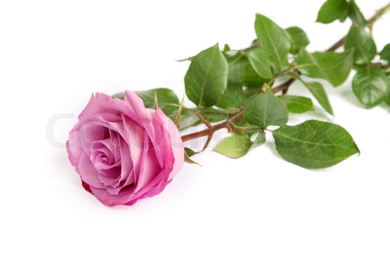 One Pink Rose | www.pixshark.com - 45.5KB