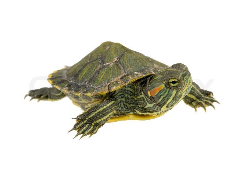 4594445-997784-small-water-turtle.jpg#water%20turtle%20480x336