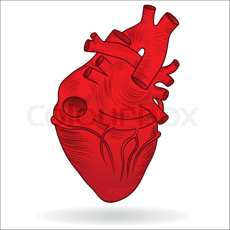 free clipart human heart - photo #17