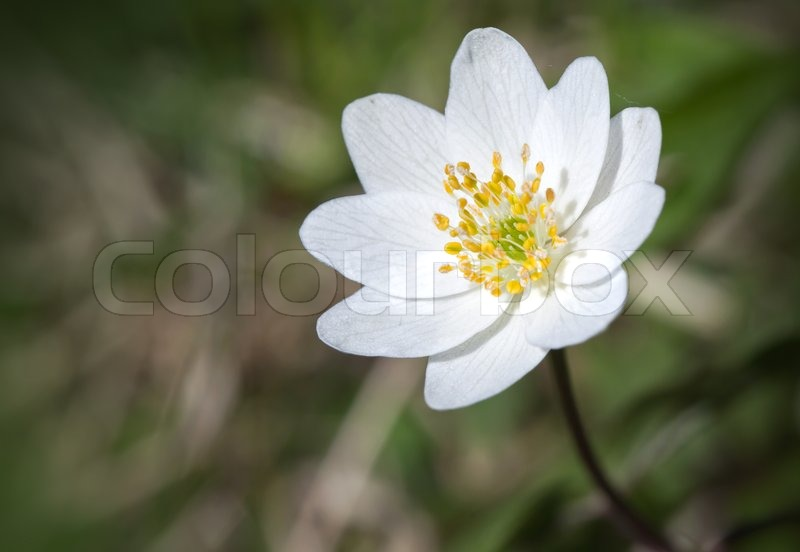 Single white flower closeup photo stock photo colourbox mightylinksfo