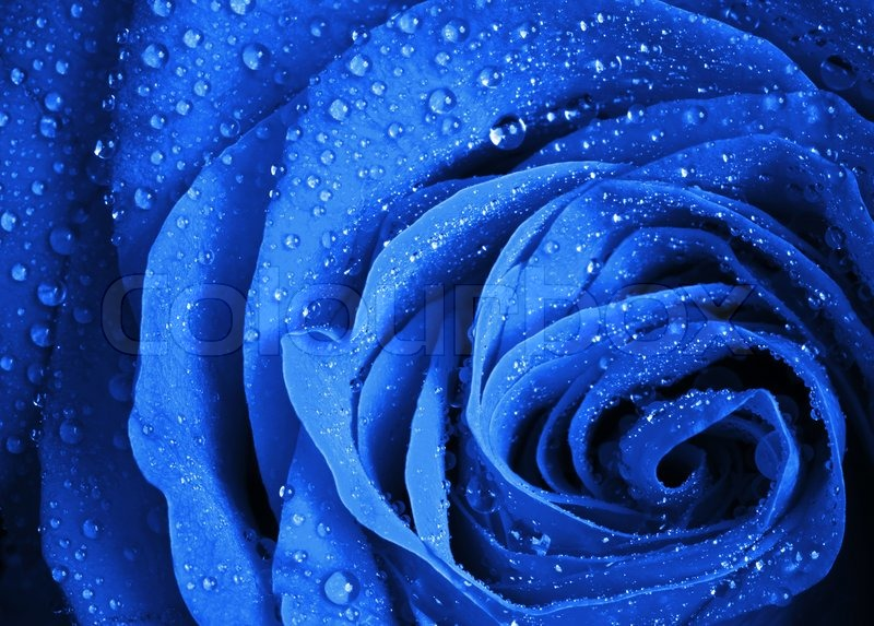 Image of 'Blue rose flower with water droplets Stylized close-up