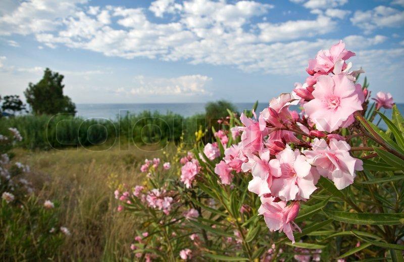 Pink flowers on the coast of mediterranean sea stock photo colourbox mightylinksfo