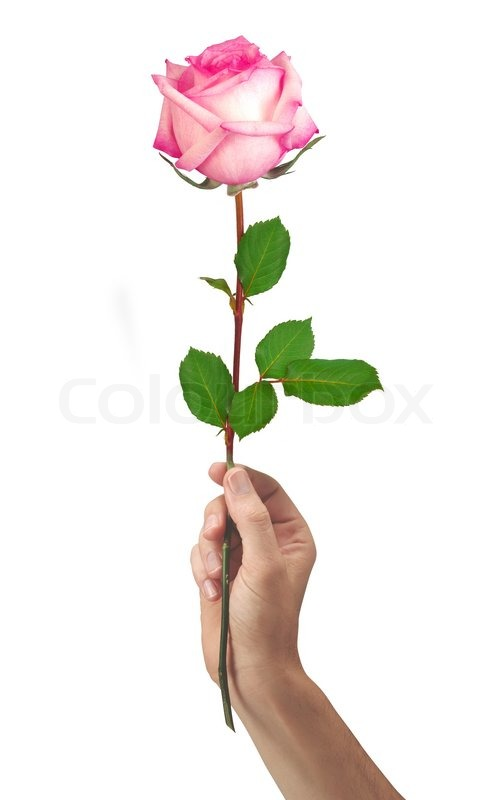 Pink rose flower in hand men isolated on white background stock pink rose flower in hand men isolated on a white background mightylinksfo