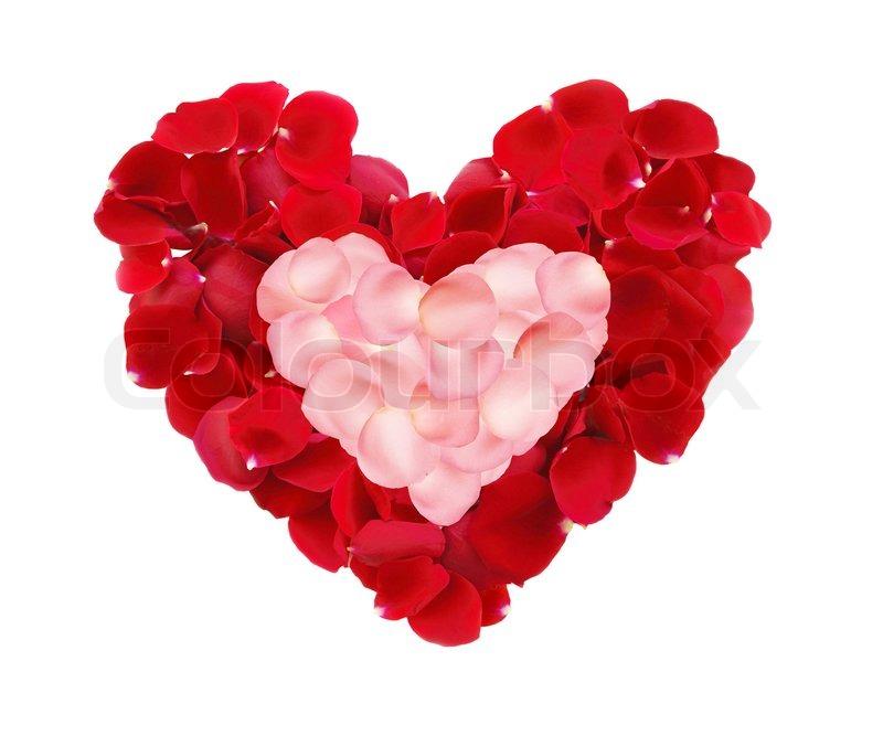 sweet rose flower wallpaper