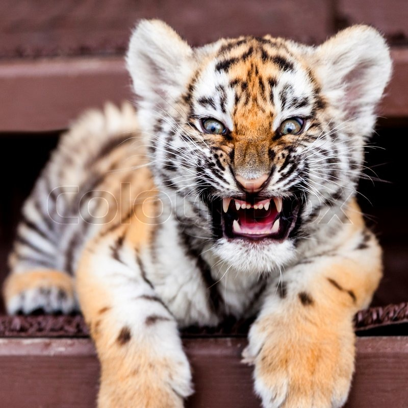 Porttrait of tiger cub on black background | Stock Photo ... Cute Siberian Tiger Cubs