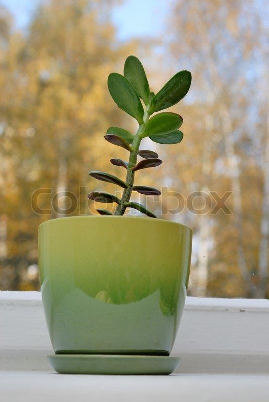 Money Tree Plant Feng Shui Wealth