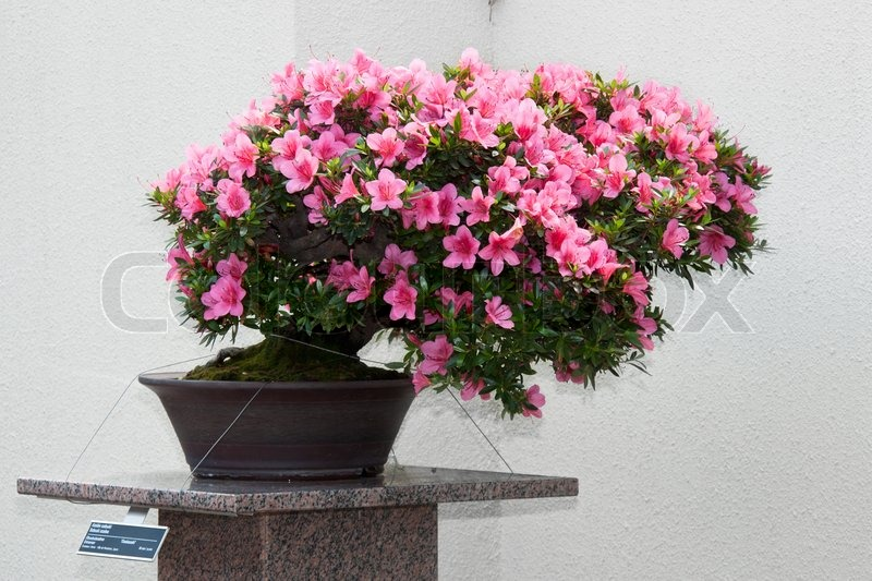 Satsuki azalea bonsai in flowering boom stock photo for 1800 flowers bonsai