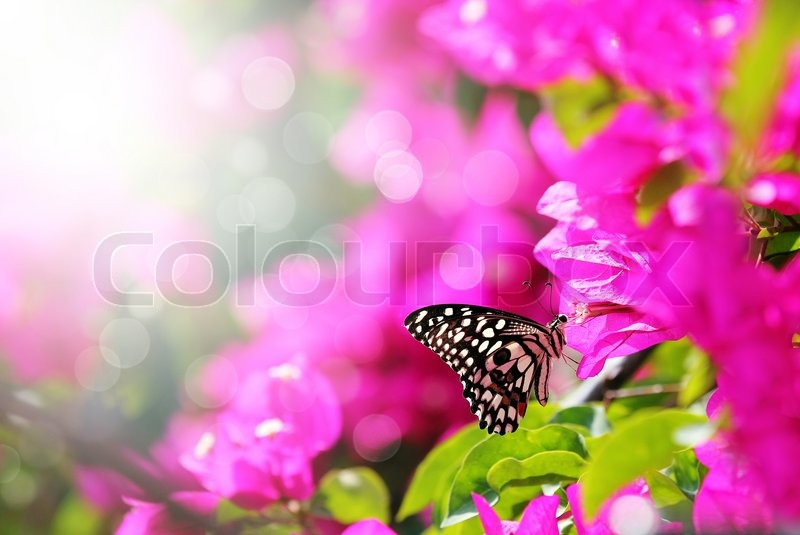 Majestic Morning Scene With Butterfly Feeding On Nectar Of A Bouganvillea Flower  With Sunrays And Beautiful Bokeh In The Background The Butterfly Has A ...