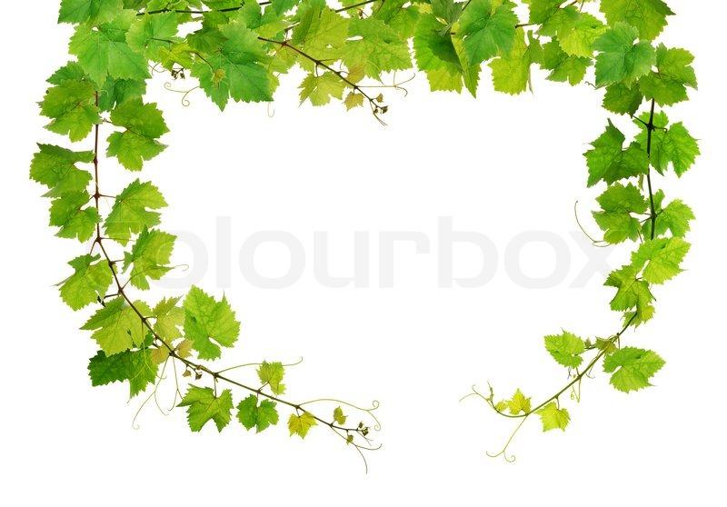 Frische Weinrebe frame | Stockfoto | Colourbox Весенние Рамки