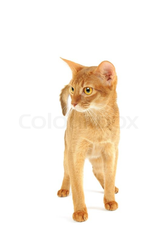 Stock image of 'Abyssinian cat