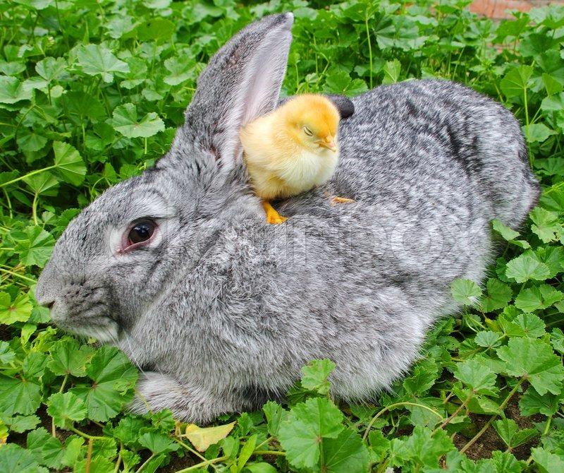 Shio ayam dan Kelinci