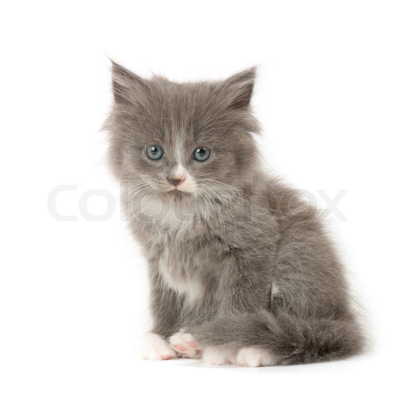 Hübsch kleine graue und weiße flauschige Katze isoliert auf weißem ...