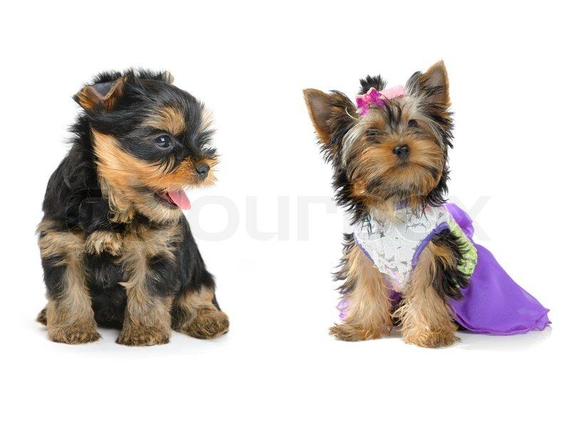 Yorkshire terrier | Stock Photo | Colourbox