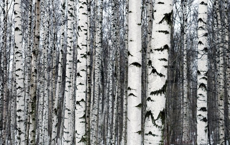 wallpaper silver birch trees