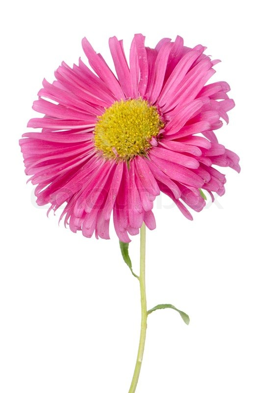 Pink Daisy Flower Stock Photo Colourbox