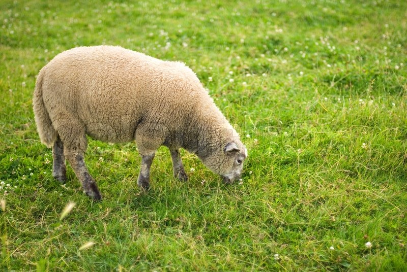 A Sheep Is Eating Grass In A Field Stock Photo Colourbox
